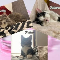 Octavie ♀ Othello & Oratio ♂ – grands chatons ataxiques – FA