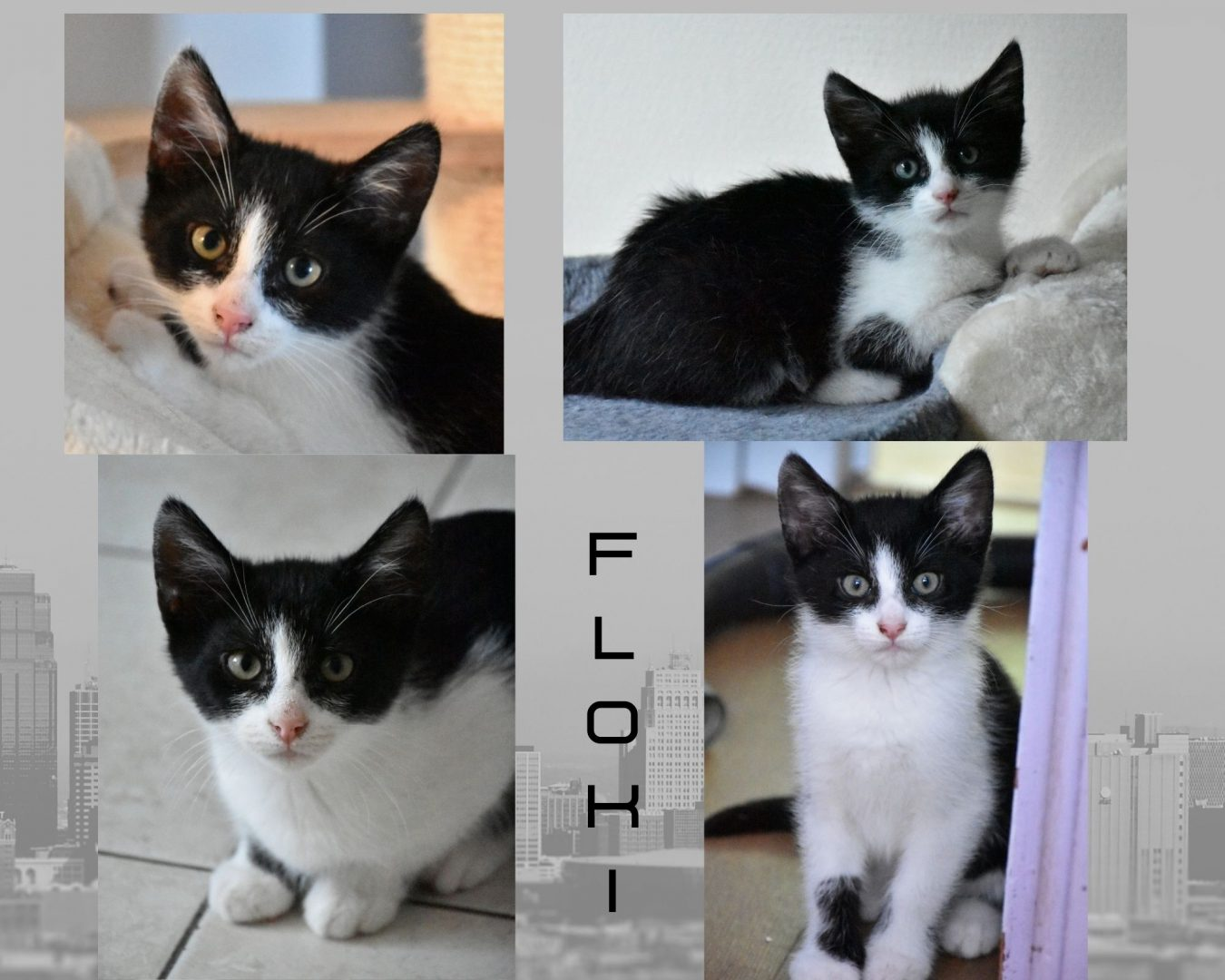 Félyne ♀ Filou, Fripon, Fievel (réservé) & Floki ♂ En famille d'accueil